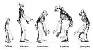 Сравнение скелетов гоминид