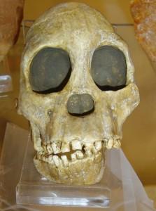 Копия черепа австралопитека