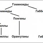Надсемейство гоминоидов и место человека в нем.