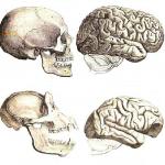 Сравнение черепа и мозга человека и шимпанзе