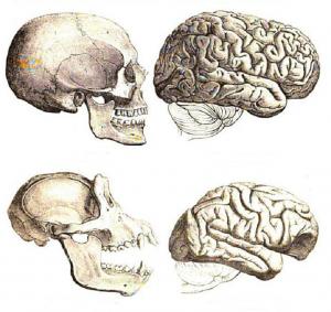 Сравнение черепа и мозга человека и шимпанзе. Схема не в масштабе 1:1