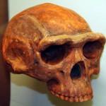 Череп человека прямоходящего (Homo erectus)