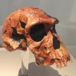 Череп человека умелого (Homo habilis)