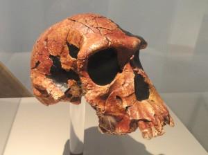 Череп человека умелого (Homo habilis), реконструкция. Хранится в Зенкенбергском музее, Франкфурт-на-Майне, Германия.