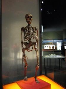 Скелет неандертальца, реконструкция