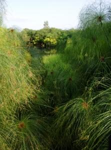 Папирус, растущий близ Сиракуз на Сицилии, Италия.