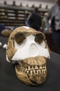 Один из найденных черепов Homo Naledi.