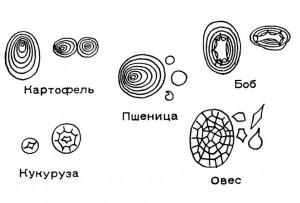Крахмальные зерна различных растений.