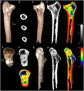 Бедренная кость, вызвавшая споры ученых.